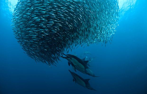sardine-run-bait-ball-dolphins
