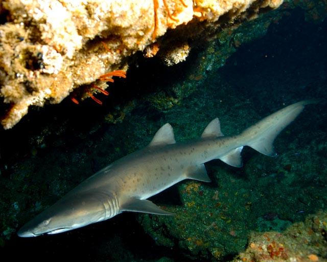 Aliwal Shoal Shark