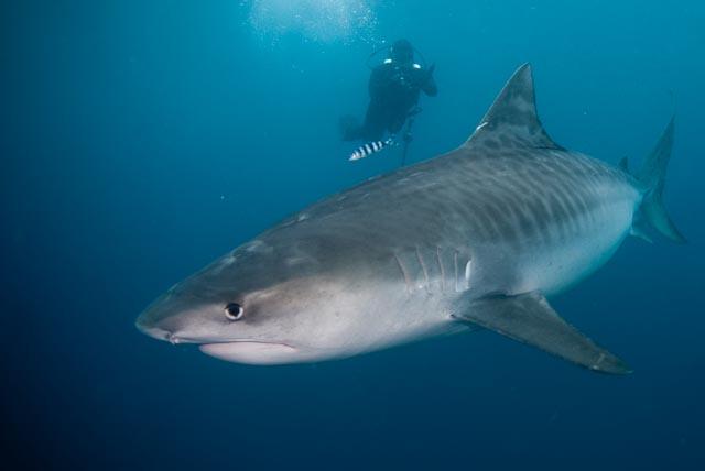 Tiger Shark & Scuba Diver